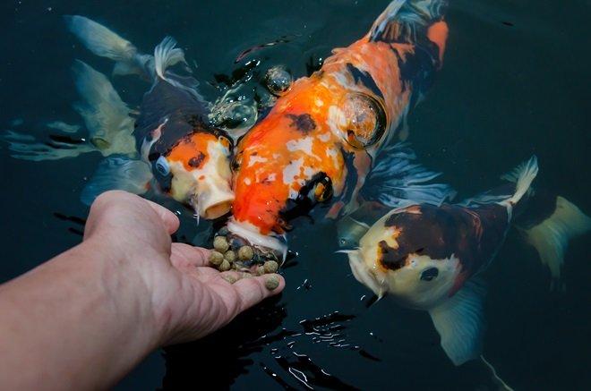 Суточная норма зависит от веса рыб и температуры.